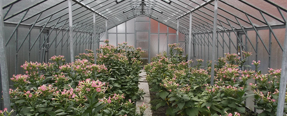 The interior of the greenhouse that is used for tobacco (Nicotiana tabacum) cultivation